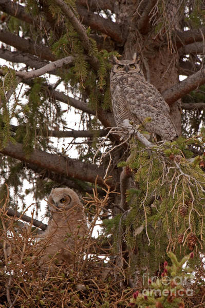 Photograph - Great Horned Owl At Mammoth by Fred Stearns
