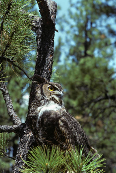 Hoot Wall Art - Photograph - Great Horned Owl Bubo Virginiansis by Animal Images