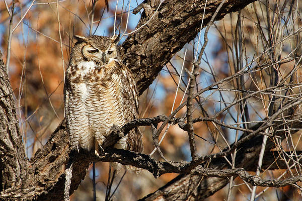 Bosque Del Apache Photograph - Great Horned Owl (bubo Virginianus by Larry Ditto