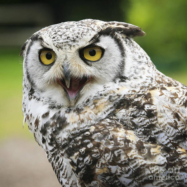 Squawk Photograph - Great Horned Owl by Chris Dutton