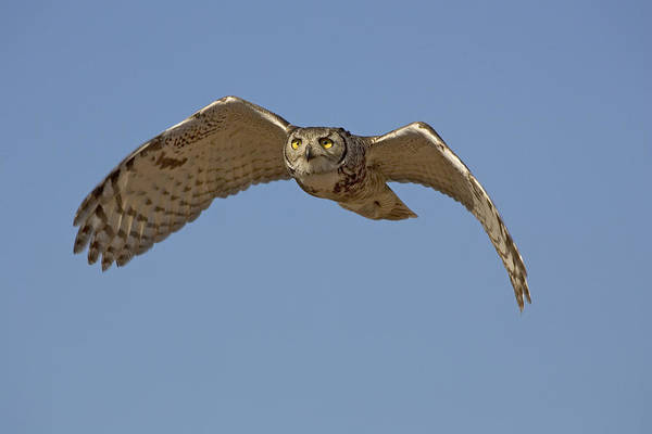Wall Art - Photograph - Great Horned Owl by Craig K. Lorenz
