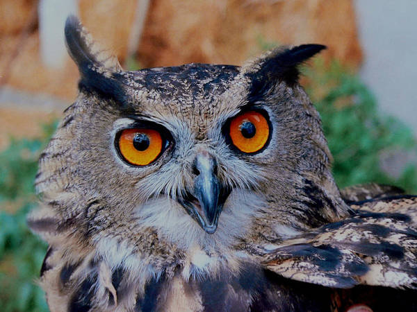 Wall Art - Photograph - Great Horned Owl by Ellen Henneke