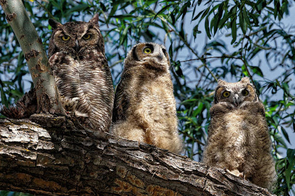 Wall Art - Photograph - Great Horned Owl Family by Kathleen Bishop