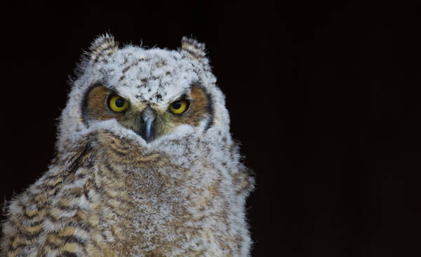 Wall Art - Photograph - Great-horned Owl, Fledgling by Ken Archer