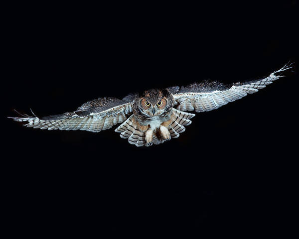 Wall Art - Photograph - Great Horned Owl by G Ronald Austing