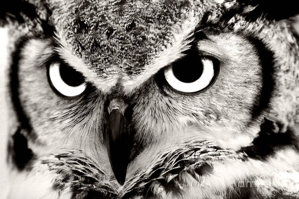 Photograph - Great Horned Owl In Black And White by Jill Lang