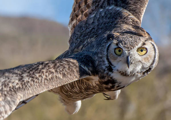Great Horned Owl In Flight - Coming At-cha Art Print
