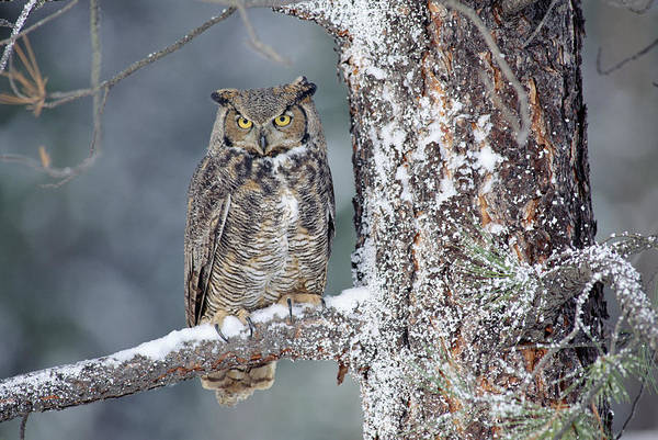 Photograph - Great Horned Owl In Winter by Tim Fitzharris