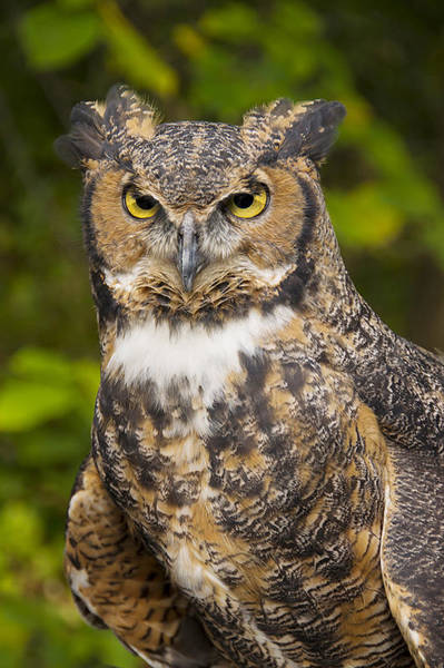 Photograph - Great Horned Owl by Larry Bohlin