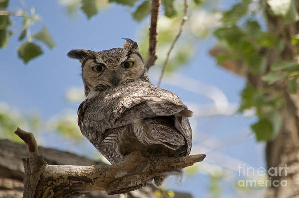 Photograph - Great Horned Owl by Lula Adams
