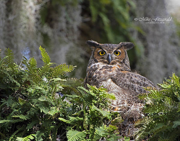 Photograph - Great Horned Owl On The Nest by Mike Fitzgerald