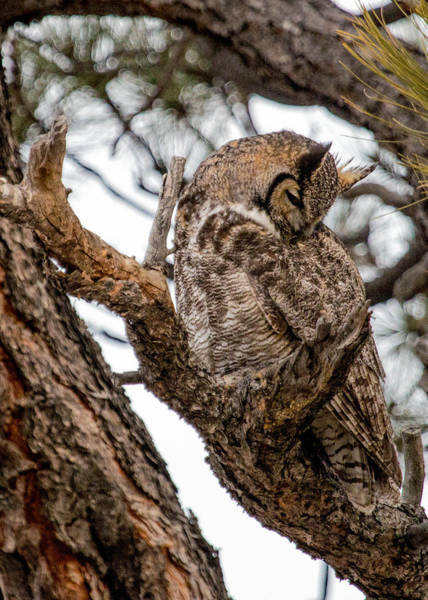 Wall Art - Photograph - Great Horned Owl Pose by Dawn Key
