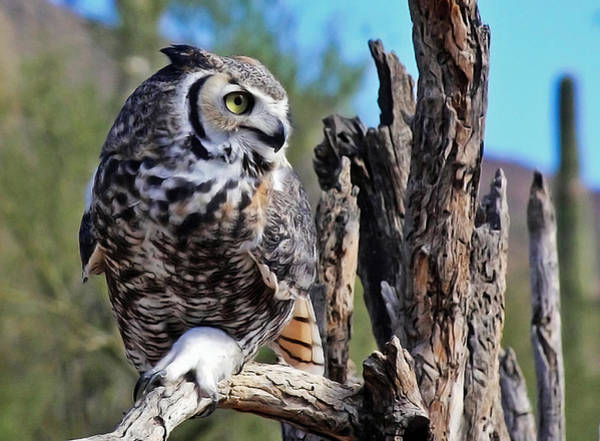 Photograph - Great Horned Owl Resting by Elaine Malott
