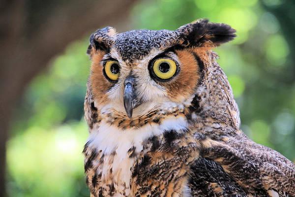 Rosalie Scanlon - Great Horned Owl