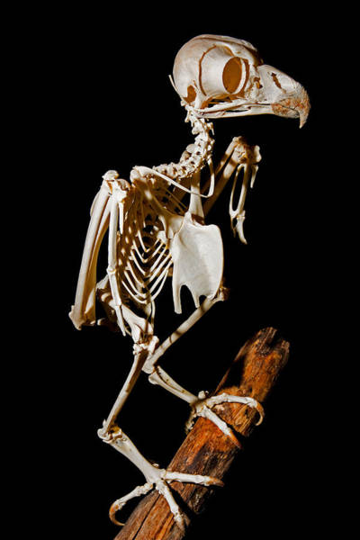 Wall Art - Photograph - Great Horned Owl Skeleton by Millard H. Sharp