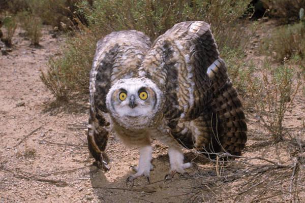 Wall Art - Photograph - Great Horned Owlet by Craig K. Lorenz