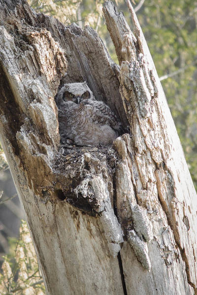 Photograph - Great Horned Owlet by Dale Kincaid