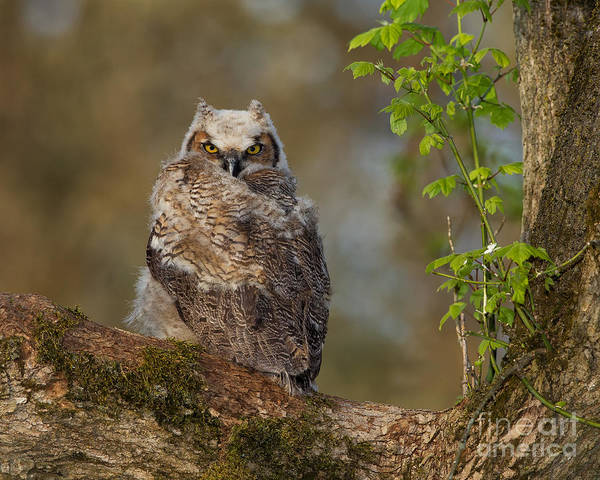 Joshua Clark Photograph - Great Horned Owlet by Joshua Clark