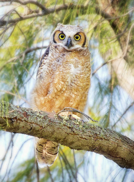 Gulf State Park Photograph - Great Horned Owlet by Kristian Bell