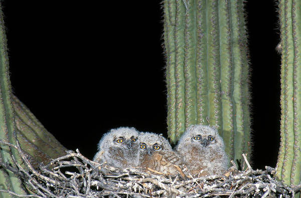 Wall Art - Photograph - Great Horned Owlets by Gerald C. Kelley