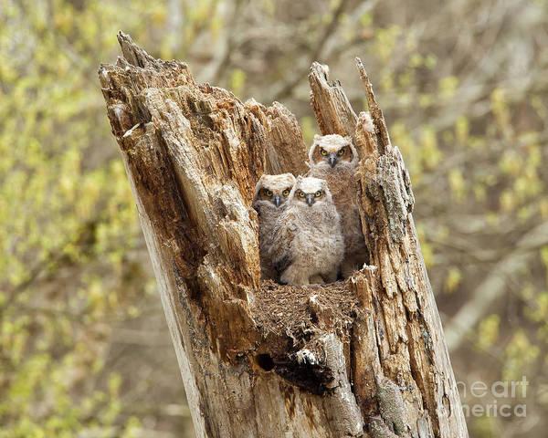 Joshua Clark Photograph - Great Horned Owlets by Joshua Clark