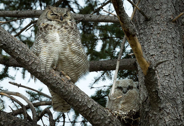 Photograph - Great Horned Owls by Michael Chatt