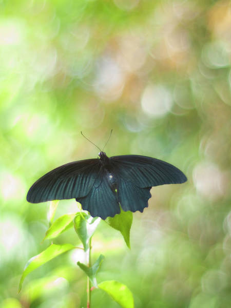 Butterfly Photograph - Great Mormon Butterfly by Polotan