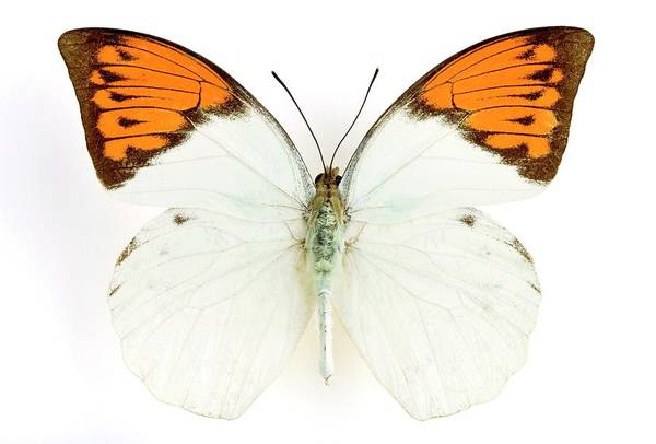 Wall Art - Photograph - Great Orange Tip Butterfly by Pascal Goetgheluck/science Photo Library