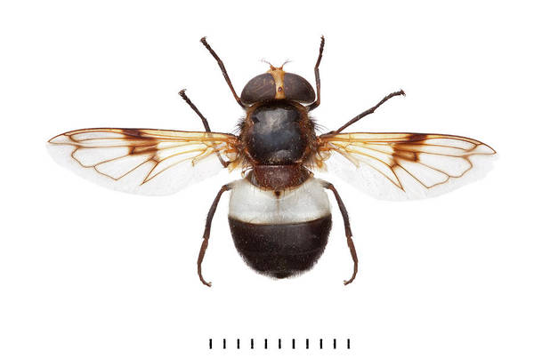 Invertebrata Wall Art - Photograph - Great Pied Hoverfly by Natural History Museum, London