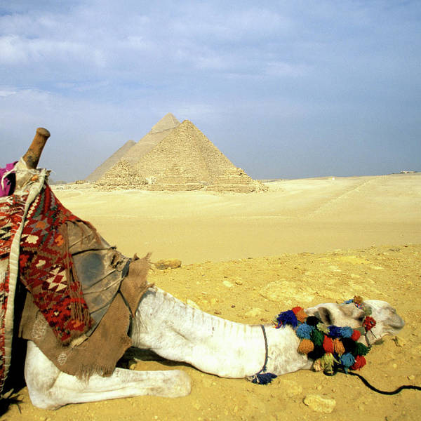 Animal Place Photograph - Great Pyramids Of Giza And Resting by Hisham Ibrahim