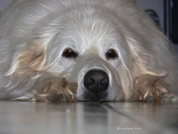 Photograph - Great Pyrenees by Ericamaxine Price
