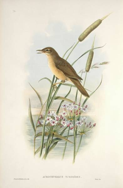 Greater London Photograph - Great Reed Warbler by Natural History Museum, London/science Photo Library