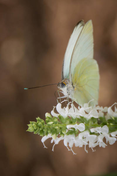 Photograph - Great Southern White 2 by Penny Lisowski