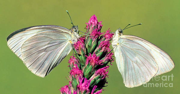 Duval County Photograph - Great Southern White Butterflies by Millard H. Sharp