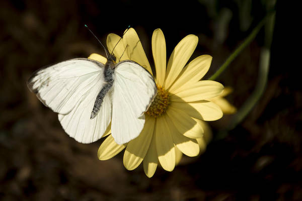 Photograph - Great Southern White With Green Tips by Penny Lisowski