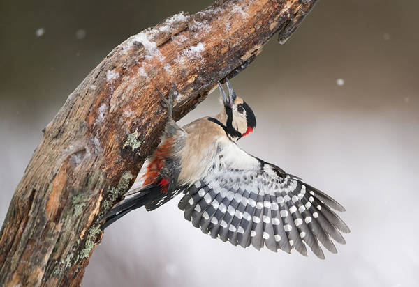 Spreading Wall Art - Photograph - Great Spotted Woodpecker Male Sweden by Franka Slothouber