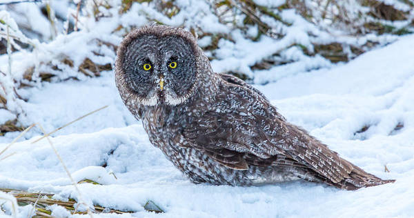 Photograph - Great Stare by Kevin  Dietrich