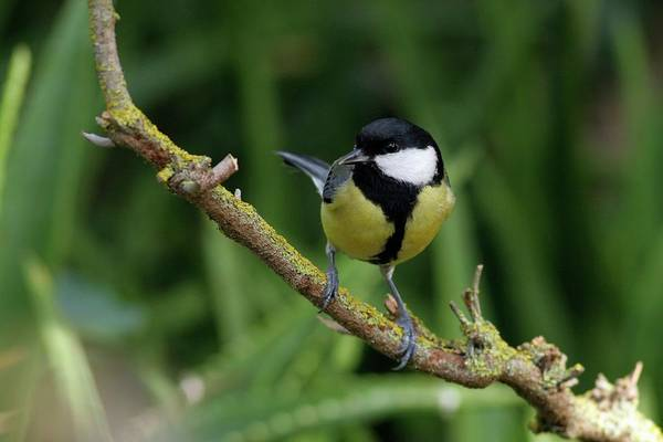 Tit Photograph - Great Tit Calling From A Sycamore Tree by Photostock-israel/science Photo Library