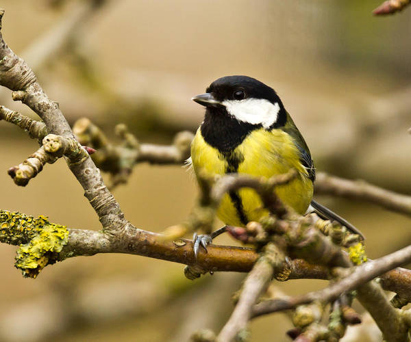 Wall Art - Photograph - Great Tit Closeup by Chris Whittle