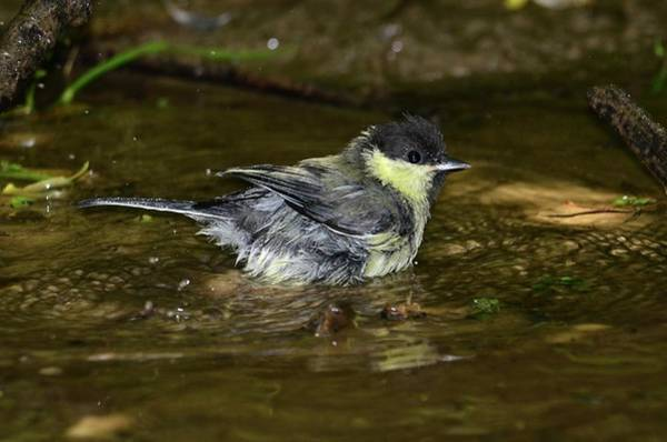 Tit Photograph - Great Tit by Colin Varndell/science Photo Library
