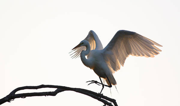 Photograph - Great White Egret At Sunset by Jean Clark