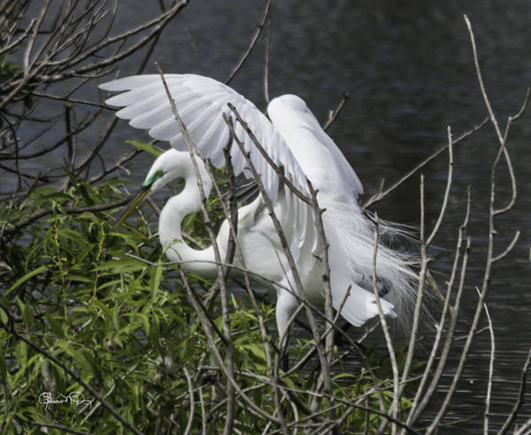Photograph - Great White Egret Building A Nest I by Susan Molnar