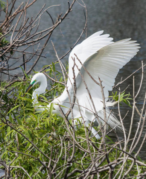 Photograph - Great White Egret Building A Nest II by Susan Molnar