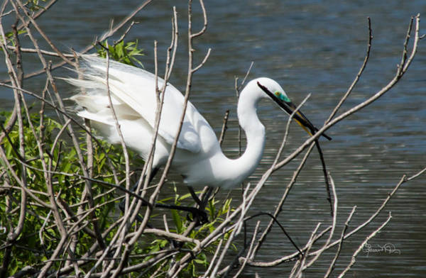 Photograph - Great White Egret Building A Nest Iv by Susan Molnar