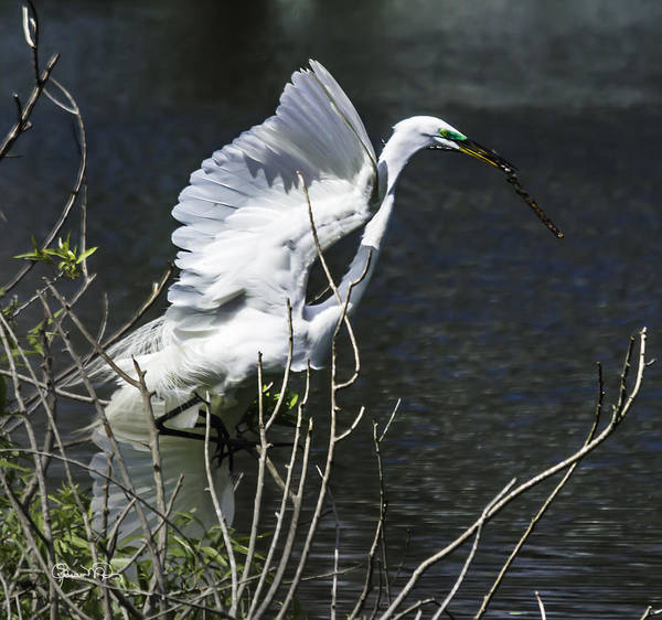 Photograph - Great White Egret Building A Nest V by Susan Molnar