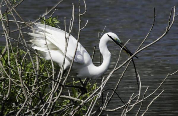 Photograph - Great White Egret Building A Nest Vi by Susan Molnar