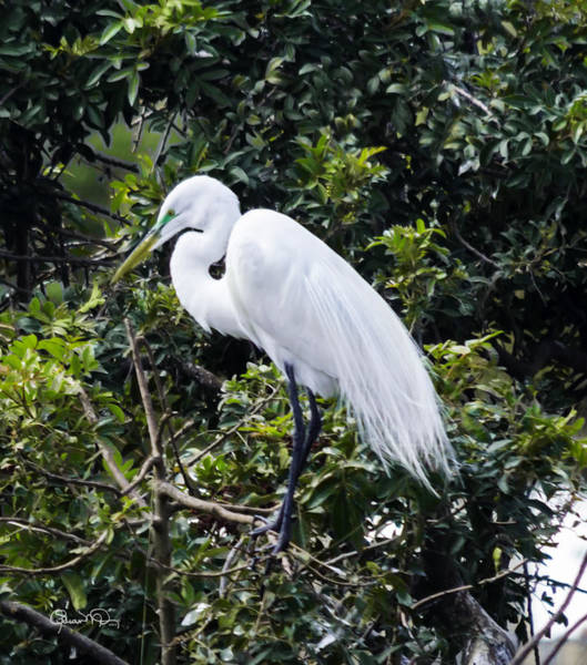Photograph - Great White Egret Building A Nest Viii by Susan Molnar