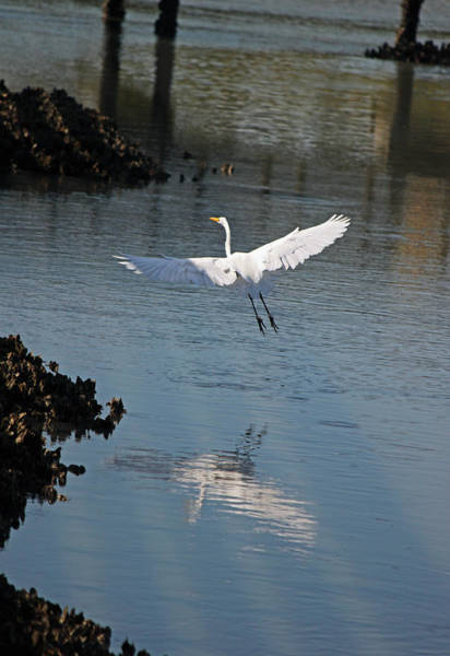 Wall Art - Photograph - Great White Egret - In Flight by Suzanne Gaff