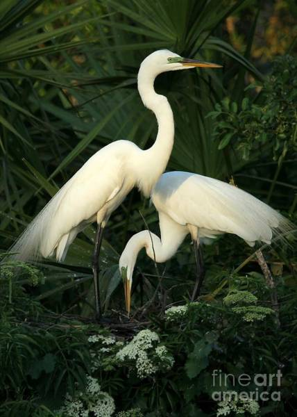 Photograph - Great White Egret Mates by Sabrina L Ryan