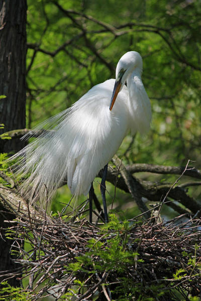 Seasonal Wall Art - Photograph - Great White Egret Primping by Suzanne Gaff